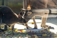 Κόκκινο καγκουρό με το μωρό του στο αγρόκτημα στοκ φωτογραφίες με δικαίωμα ελεύθερης χρήσης