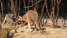 Κόκκινο καγκουρό στο ζωολογικό κήπο της Ταϊλάνδης απόθεμα βίντεο