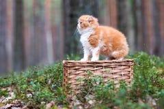 Κόκκινο και άσπρο βρετανικό μακρυμάλλες γατάκι Στοκ φωτογραφίες με δικαίωμα ελεύθερης χρήσης