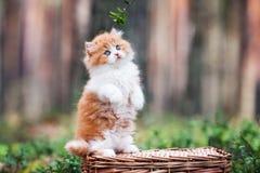 Κόκκινο και άσπρο βρετανικό μακρυμάλλες γατάκι Στοκ Φωτογραφίες