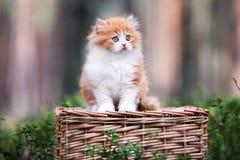 Κόκκινο και άσπρο βρετανικό μακρυμάλλες γατάκι Στοκ φωτογραφία με δικαίωμα ελεύθερης χρήσης