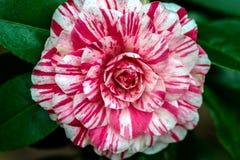 Κόκκινο και άσπρο λουλούδι καμελιών Στοκ Εικόνες