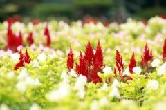 Κόκκινο και άσπρο λουλούδι Στοκ φωτογραφία με δικαίωμα ελεύθερης χρήσης