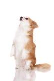 Κόκκινο και άσπρο σκυλί chihuahua Στοκ φωτογραφία με δικαίωμα ελεύθερης χρήσης