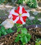 Κόκκινο και άσπρο pansie Στοκ Εικόνες