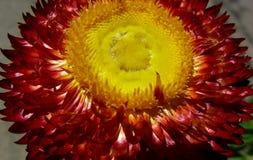 Κόκκινο και κίτρινο λουλούδι αχύρου στοκ εικόνες