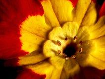 Κόκκινο και κίτρινο λουλούδι Στοκ Φωτογραφίες