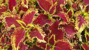 Κόκκινο και κίτρινο φυτό λουλουδιών φύλλων Στοκ Φωτογραφία