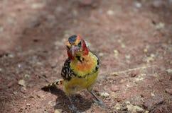 Κόκκινο και κίτρινο Barbet στο εθνικό πάρκο Serengeti στην Τανζανία Αφρική Στοκ Εικόνες