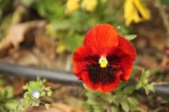 Κόκκινο και καφετί χρωματισμένο λουλούδι Στοκ φωτογραφίες με δικαίωμα ελεύθερης χρήσης