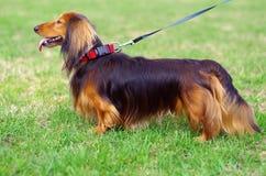 Κόκκινο και μαύρο γερμανικό σκυλί ασβών πιπεροριζών Στοκ φωτογραφία με δικαίωμα ελεύθερης χρήσης
