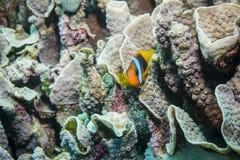 Κόκκινο και μαύρο Anemonefish Στοκ Φωτογραφία