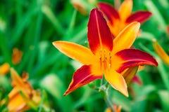 Κόκκινο και πορτοκαλί Daylily Στοκ Εικόνα
