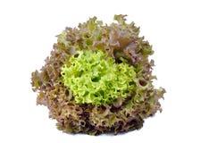 Κόκκινο και πράσινο δρύινο μαρούλι Στοκ εικόνα με δικαίωμα ελεύθερης χρήσης
