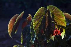 Κόκκινο και πράσινο τροπικό φύλλο στον ήλιο ηλιοβασιλέματος Εξωτικές εγκαταστάσεις στον τροπικό κήπο Στοκ Φωτογραφία