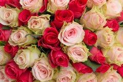 Κόκκινο και ρόδινο υπόβαθρο τριαντάφυλλων Στοκ Φωτογραφίες
