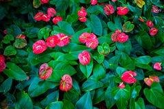 Κόκκινο και ρόδινο anthurium λουλούδι γνωστό επίσης ως λουλούδι ουρών, να φλεθεί Στοκ φωτογραφία με δικαίωμα ελεύθερης χρήσης