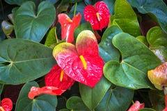 Κόκκινο και ρόδινο anthurium λουλούδι γνωστό επίσης ως λουλούδι ουρών, να φλεθεί Στοκ Φωτογραφία