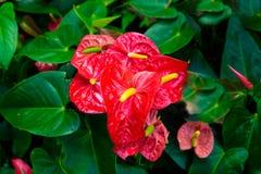 Κόκκινο και ρόδινο anthurium λουλούδι γνωστό επίσης ως λουλούδι ουρών Στοκ φωτογραφίες με δικαίωμα ελεύθερης χρήσης
