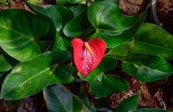 Κόκκινο και ρόδινο anthurium λουλούδι γνωστό επίσης ως λουλούδι ουρών Στοκ Φωτογραφία