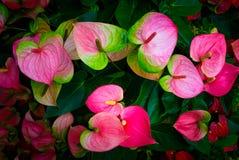 Κόκκινο και ρόδινο anthurium λουλούδι γνωστό επίσης ως λουλούδι ουρών Στοκ εικόνα με δικαίωμα ελεύθερης χρήσης