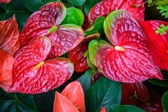 Κόκκινο και ρόδινο anthurium λουλούδι γνωστό επίσης ως λουλούδι ουρών Στοκ φωτογραφία με δικαίωμα ελεύθερης χρήσης
