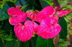 Κόκκινο και ρόδινο anthurium λουλούδι γνωστό επίσης ως λουλούδι ουρών Στοκ εικόνες με δικαίωμα ελεύθερης χρήσης
