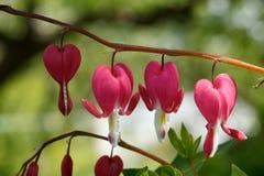 κόκκινο καρδιών λουλο&upsilo Στοκ Φωτογραφία