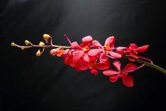 Κόκκινο καφέ λουλούδι ορχιδεών Στοκ φωτογραφία με δικαίωμα ελεύθερης χρήσης