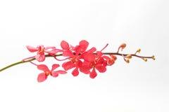 Κόκκινο καφέ λουλούδι ορχιδεών Στοκ εικόνες με δικαίωμα ελεύθερης χρήσης