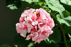 Κόκκινο καφέ λουλούδι Στοκ Φωτογραφία