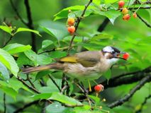 Κόκκινο κερασιών, ποντίκι για να αποφύγει τα φρούτα κερασιών πουλιών στοκ εικόνες