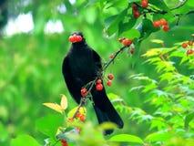 Κόκκινο κερασιών, ποντίκι για να αποφύγει τα φρούτα κερασιών πουλιών στοκ φωτογραφία με δικαίωμα ελεύθερης χρήσης