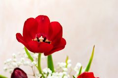 κόκκινο κεφάλι λουλουδιών τουλιπών Στοκ φωτογραφία με δικαίωμα ελεύθερης χρήσης
