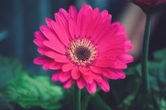 Κόκκινο κεφάλι λουλουδιών gerbera στοκ φωτογραφία με δικαίωμα ελεύθερης χρήσης