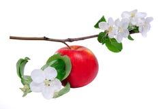 κόκκινο κλάδων μήλων Στοκ φωτογραφίες με δικαίωμα ελεύθερης χρήσης