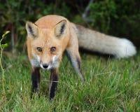 Κόκκινο κοίταγμα αλεπούδων Στοκ φωτογραφίες με δικαίωμα ελεύθερης χρήσης