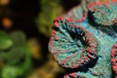 Κόκκινο κοράλλι σκελετών στοκ εικόνες