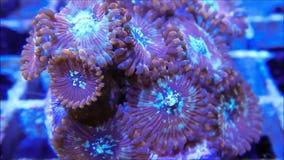 Κόκκινο κοράλλι Polyps Palythoa στο ρεύμα φιλμ μικρού μήκους