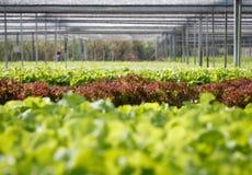 Κόκκινο κοράλλι hydroponics στο αγρόκτημα Στοκ εικόνα με δικαίωμα ελεύθερης χρήσης