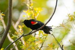 κόκκινο κοτσύφων φτερωτό στοκ εικόνες