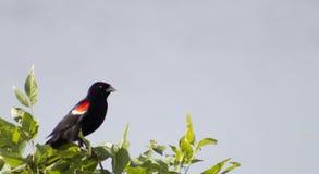 κόκκινο κοτσύφων φτερωτό Στοκ Φωτογραφίες