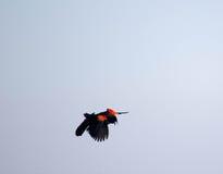 κόκκινο κοτσύφων φτερωτό Στοκ εικόνες με δικαίωμα ελεύθερης χρήσης