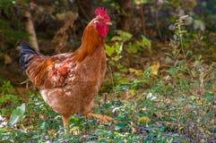 Κόκκινο κοτόπουλο Ρόουντ Άιλαντ Στοκ Φωτογραφία