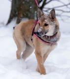 Κόκκινο κουτάβι μεταξύ του χιονιού Στοκ εικόνες με δικαίωμα ελεύθερης χρήσης