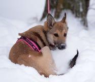 Κόκκινο κουτάβι μεταξύ του χιονιού Στοκ Εικόνες