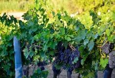 κόκκινο κρασί αμπέλων σταφ Στοκ φωτογραφία με δικαίωμα ελεύθερης χρήσης