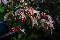 κόκκινο κραταίγου κλάδων μούρων Στοκ φωτογραφίες με δικαίωμα ελεύθερης χρήσης