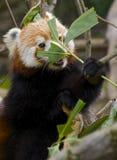 Κόκκινο κρύψιμο της Panda πίσω από ένα φύλλο, κατανάλωση χαριτωμένη Στοκ Εικόνα