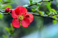 Κόκκινο κυδώνι Στοκ φωτογραφίες με δικαίωμα ελεύθερης χρήσης